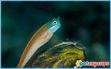 Blue Headed Goby